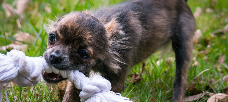 puppy playing outside on lawn with knot dog toy