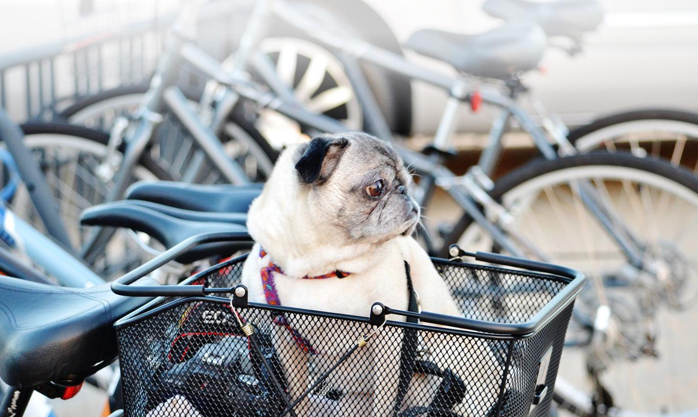 A Pug sits in a bike basket.